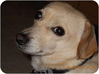 Dachshund/Chihuahua Mix Dog for adoption in Studio City, California - OLLIE the luvebug