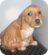 Hound (Unknown Type)/Beagle Mix Puppy for adoption in Media, Pennsylvania - Grace