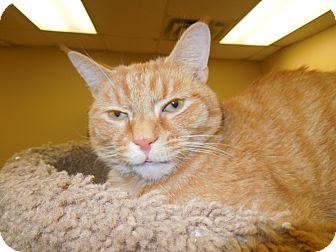 Domestic Shorthair Cat for adoption in Medina, Ohio - Jaspurr