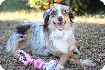 Australian Shepherd Dog for adoption in San Pedro, California - BRUIN (Courtesy List)