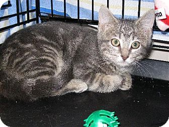 Domestic Shorthair Kitten for adoption in Fort Wayne, Indiana - Tazz