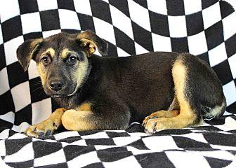 German Shepherd Dog Mix Puppy for adoption in Westminster, Colorado - Vegas