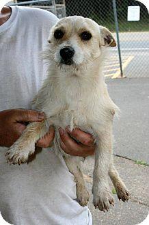 Westie, West Highland White Terrier/Jack Russell Terrier Mix Dog for adoption in Hampton, Virginia - Iris