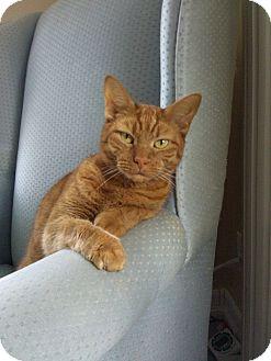Domestic Shorthair Cat for adoption in Huntington Station, New York - PUMPKIN