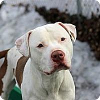 Adopt A Pet :: Brando - Port Washington, NY