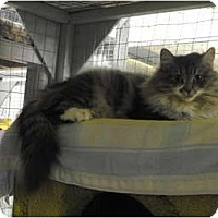 Adopt A Pet :: Ivy - Mission, BC
