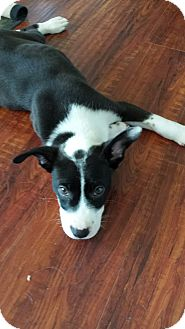 Border Collie/Labrador Retriever Mix Puppy for adoption in Perris, California - Jimmy