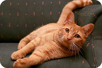 Domestic Shorthair Cat for adoption in Sterling Heights, Michigan - Pumpkin-ADOPTED