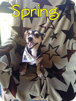 Dachshund/Jack Russell Terrier Mix Dog for adoption in Ocean Springs, Mississippi - Spring