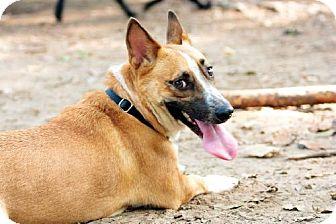 Corgi Mix Dog for adoption in Tallahassee, Florida - Buddy - adoption pending