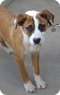 Boxer/Shepherd (Unknown Type) Mix Puppy for adoption in Quail Valley, California - Sugarplum