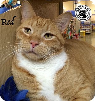 Domestic Shorthair Cat for adoption in Covington, Kentucky - Red