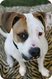 Boxer/American Bulldog Mix Dog for adoption in Studio City, California - Honey
