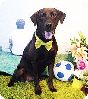 Labrador Retriever Mix Dog for adoption in Castro Valley, California - Chase