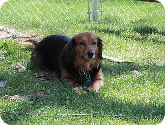Dachshund/Corgi Mix Dog for adoption in Greenwood, Michigan - Jodi