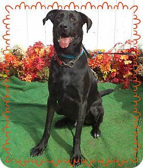 Labrador Retriever Dog for adoption in Marietta, Georgia - WILLIAM- also see HARRY