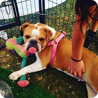 English Bulldog Dog for adoption in Auburn, California - Minnie Mouse