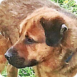 German Shepherd Dog/Labrador Retriever Mix Dog for adoption in Maquoketa, Iowa - Bruce Wayne