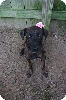 Hound (Unknown Type)/Labrador Retriever Mix Puppy for adoption in Darlington, South Carolina - Sanjuana