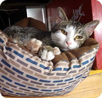 Domestic Shorthair Kitten for adoption in Lombard, Illinois - Trina