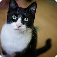 Domestic Shorthair Cat for adoption in Mountain View, California - Bennett