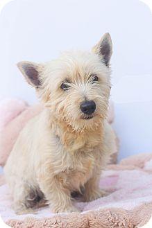 Westie, West Highland White Terrier/Yorkie, Yorkshire Terrier Mix Dog for adoption in Auburn, California - Sherlock