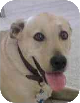 Labrador Retriever/American Staffordshire Terrier Mix Dog for adoption in Provo, Utah - Sasha