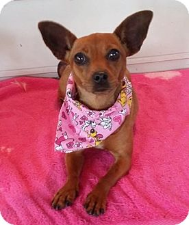 Chihuahua Dog for adoption in Lawrenceville, Georgia - Claire