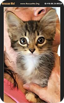 American Shorthair Kitten for adoption in Horseshoe Bay, Texas - Jack