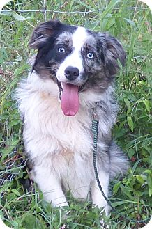Australian Shepherd Dog for adoption in Newburgh, New York - Teddy