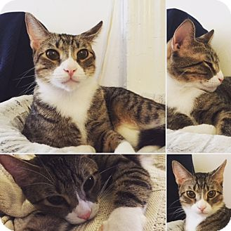 American Shorthair Cat for adoption in New York, New York - Tiger