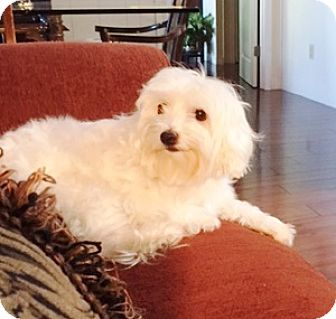 Maltese/Miniature Poodle Mix Dog for adoption in Castro Valley, California - Lucy