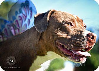 American Staffordshire Terrier/Foxhound Mix Dog for adoption in St. Louis, Missouri - Sienna