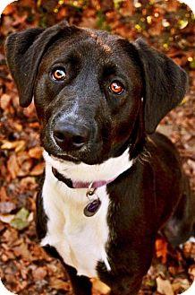Labrador Retriever Mix Dog for adoption in Fort Smith, Arkansas - Maggie