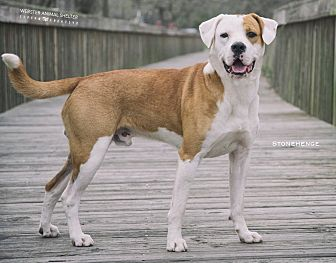 American Bulldog/Hound (Unknown Type) Mix Dog for adoption in Webster, Texas - stonehenge
