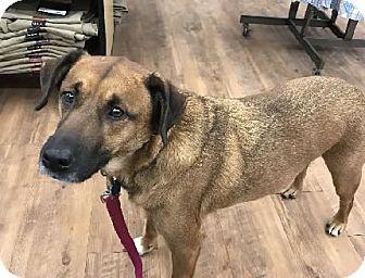 Shepherd (Unknown Type)/Beagle Mix Dog for adoption in Avon, New York - Rocky