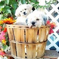 Adopt A Pet :: Buddy & Happy - Gilbert, AZ