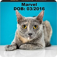 Adopt A Pet :: Marvel - Chandler, AZ
