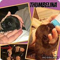 Mastiff/Labrador Retriever Mix Puppy for adoption in Chambersburg, Pennsylvania - Ellie's 'Thumbelina'