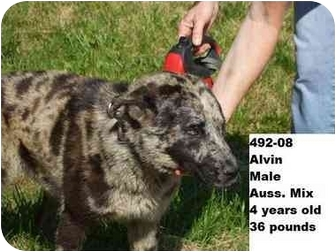 Australian Shepherd Mix Dog for adoption in Zanesville, Ohio - Alvin - RESCUED!