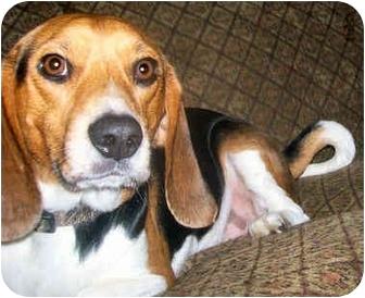 Beagle Dog for adoption in Latrobe, Pennsylvania - Wayne