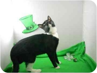 Domestic Shorthair Cat for adoption in North Charleston, South Carolina - Holmes