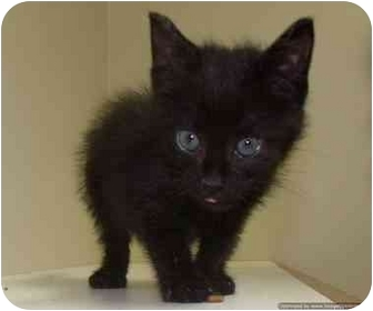 Domestic Shorthair Kitten for adoption in Morden, Manitoba - Oscar