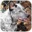 Photo 2 - Australian Cattle Dog Dog for adoption in Siler City, North Carolina - Bliss