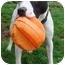 Photo 1 - Boxer Mix Dog for adoption in BRIDGEPORT, Connecticut - Cowboy