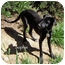 Photo 2 - Labrador Retriever/Whippet Mix Puppy for adoption in Mandeville Canyon, California - Sophie