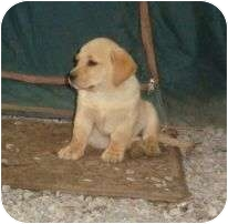 Labrador Retriever/Dachshund Mix Puppy for adoption in Staunton, Virginia - Twinkle Tulip