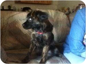 Papillon Mix Dog for adoption in Brazil, Indiana - Tasha