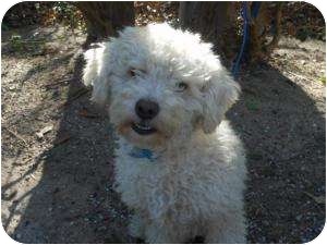 Poodle (Miniature) Mix Dog for adoption in Kingwood, Texas - Billy