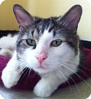 Domestic Mediumhair Cat for adoption in Medford, Massachusetts - Emmitt